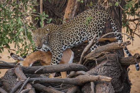 Leopardo Samburu Kenia