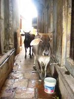 Una gallega en la India: Sobre mosquitos, vacas y otras epidemias