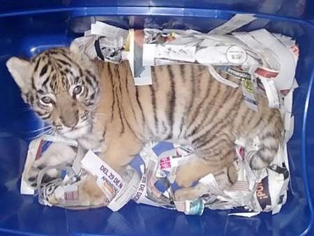 A alguien en México se le ocurrió enviar un cachorro de tigre de bengala por paquetería de Guadalajara a Querétaro