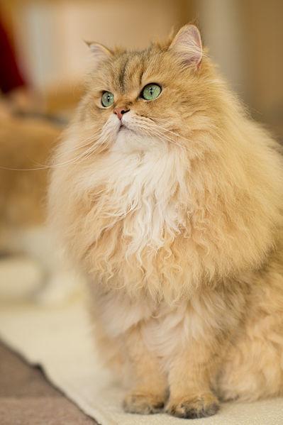 Persian In Cat Cafe