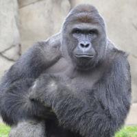 La muerte del gorila Harambe: ¿tenemos el derecho de matar un animal para salvar una vida humana?