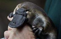 El ornitorrinco: el animal que más sueña