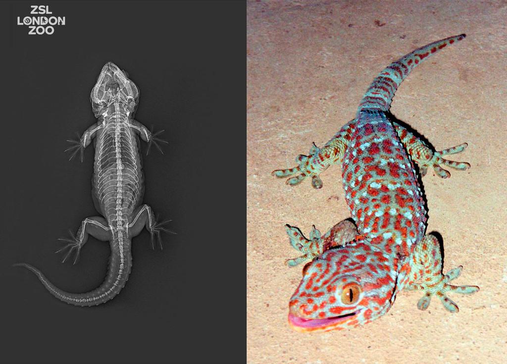 Así son las curiosas radiografías de una serpiente, una tortuga cabezona y otros animales: nos lo muestra el zoo de Londres