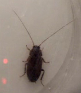 Las cucarachas hembra también se unen para lidiar con el acoso de los machos