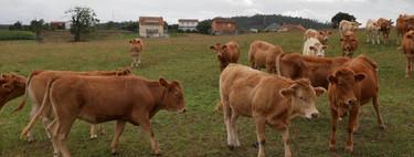 Viaje al país de la ternera: cómo Galicia ha logrado tener una de las mejores carnes del mundo