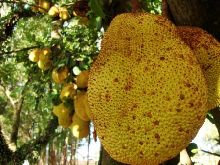 Jackfruit, una fruta muy nutritiva