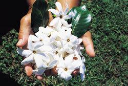 Flores de Tiaré