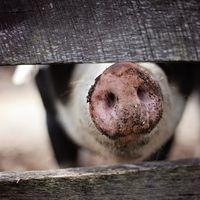 'Ébola porcino' preocupa a autoridades mexicanas, pero se descartan contagios