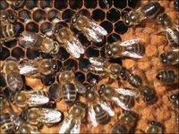 La automedicación de las abejas