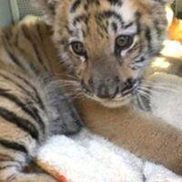 La Profepa encontró un tigre de bengala en Estado de México, pero no asegura si es el tigre visto en plaza Antara, Polanco