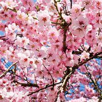 El espectáculo de los cerezos en flor en China os dejará sin habla