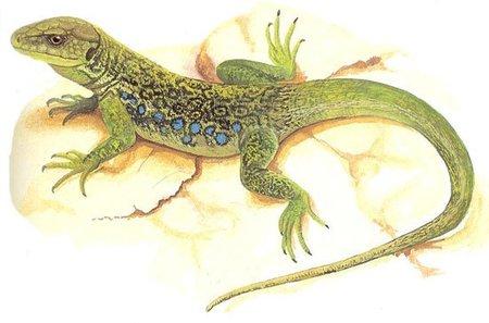 Singularidades extraordinarias de animales ordinarios (XXIX): el lagarto