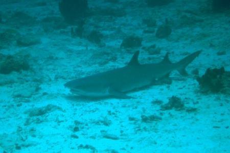 tiburr31.jpg