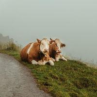 El misterio de las vacas francesas: están muriendo a centenares y nadie sabe exactamente por qué