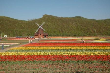 1024px-tulip_field_kamiyubetsu_hokkaido_japan.jpg