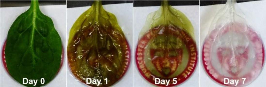 Estas hojas de espinacas podrían convertirse en parches para el corazón humano