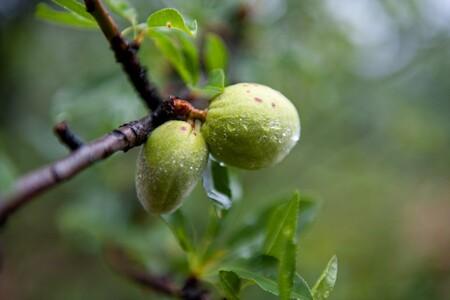 Almendro Fruto