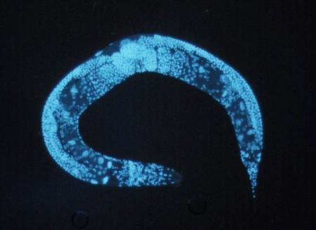 nematodo