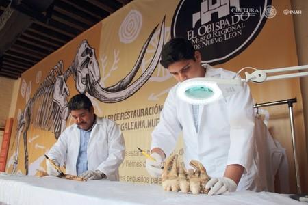 Restaurarán mamut encontrado en Galeana, Nuevo León, México