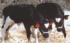 ¿Es necesario clonar animales para la obtención de alimentos?