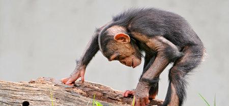 El gran debate de los derechos del chimpancé