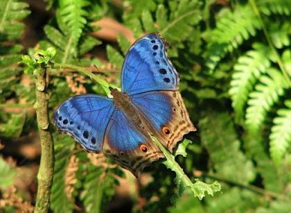 Blue Salamis Uganda