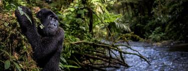 El gorila que trata de cruzar un río y otras llamativas fotos de animales ganadoras del PA2F Environmental Photography Award 2021