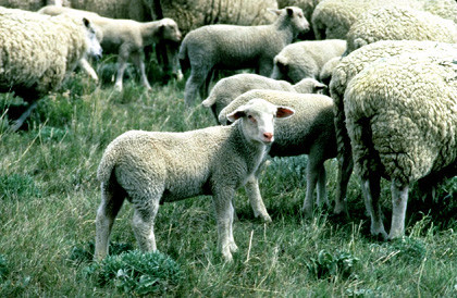 Carne y leche de ovino cardiosaludables