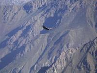 El Cóndor andino: Nuevo reclamo turístico en la Patagonia