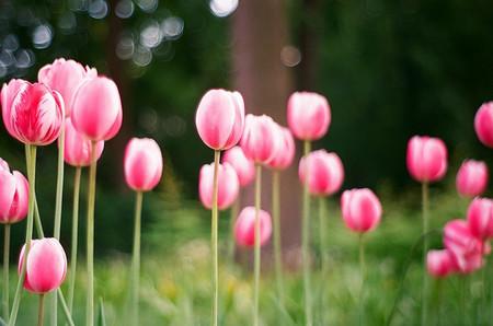 Agenda de primavera: los campos de tulipanes de Holanda