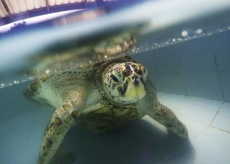 Extraer 915 monedas del vientre de esta tortuga no fue suficiente. Hoy los turistas han acabado con ella