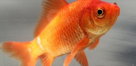 Este pez produce alcohol para vivir sin oxígeno