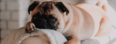 """Cuando la evolución se convierte en la """"ley del más adorable"""": los perros conquistaron el mundo a fuerza de para """"ponernos ojitos"""""""