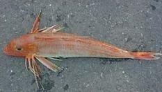 Un pez con muchos nombres, el cuco