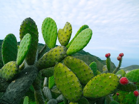 Prickly Pear 1501307 1280