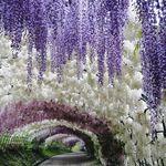 La belleza de las glicinias en Japón supera incluso la de los cerezos