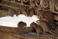 India: El templo de las ratas sagradas
