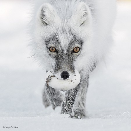 Arctic Treasure C Sergey Gorshkov Wildlife Photographer Of The Year