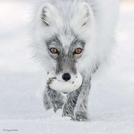 Arctic Treasure C Sergey Gorshkov Wildlife Photographer Of The Year