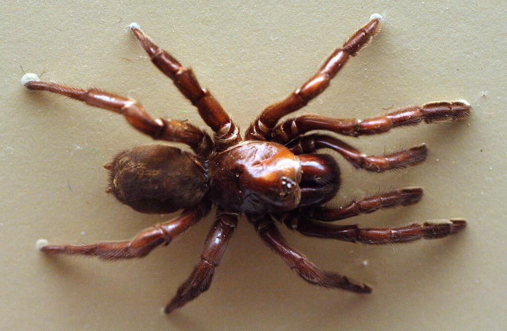 Número 16: la araña australiana que vivió casi mitad siglo y fue asesinada a traición por una avispa
