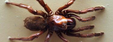 Номер 16: австралийский паук, проживший почти полвека и вероломно убитый осой