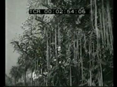 La cosecha suiza de espaguetis, histórica broma de la BBC