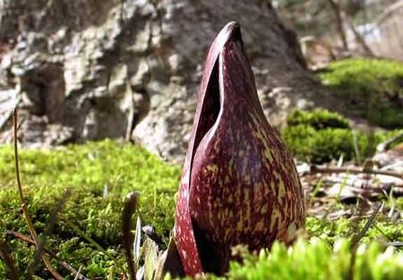 Skunkcabbage Moss 400x575