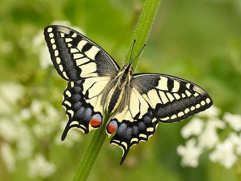 El insecto con el aleteo más lento de todos mueve sus alas