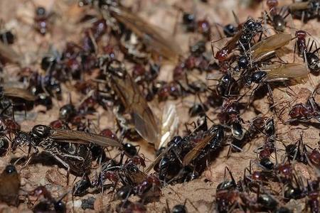 800px-meat_eater_ant_nest_swarming02.jpg