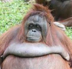 ¿Inminente adiós al Orangután?