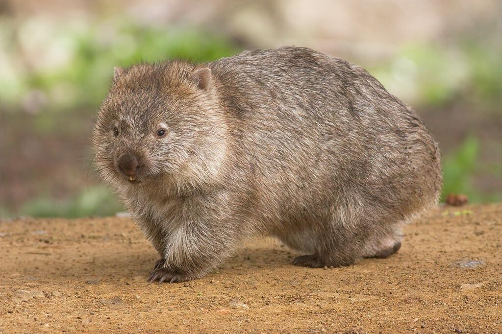 Google añade recientes animales 3D: wombats, koalas, canguros y cucaburras en realidad aumentada