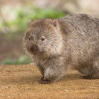 Google añade nuevos animales 3D: wombats, koalas, canguros y cucaburras en realidad aumentada