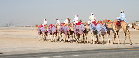 Camellos Al Ain
