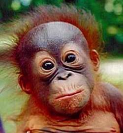 Orangutanes inventores